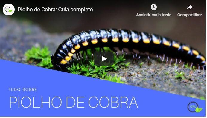 vídeo sobre piolho de cobra