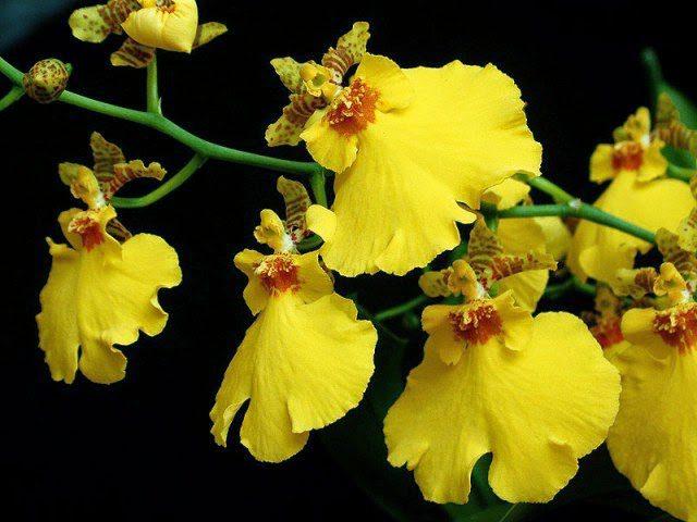 orquideas tipo amarela