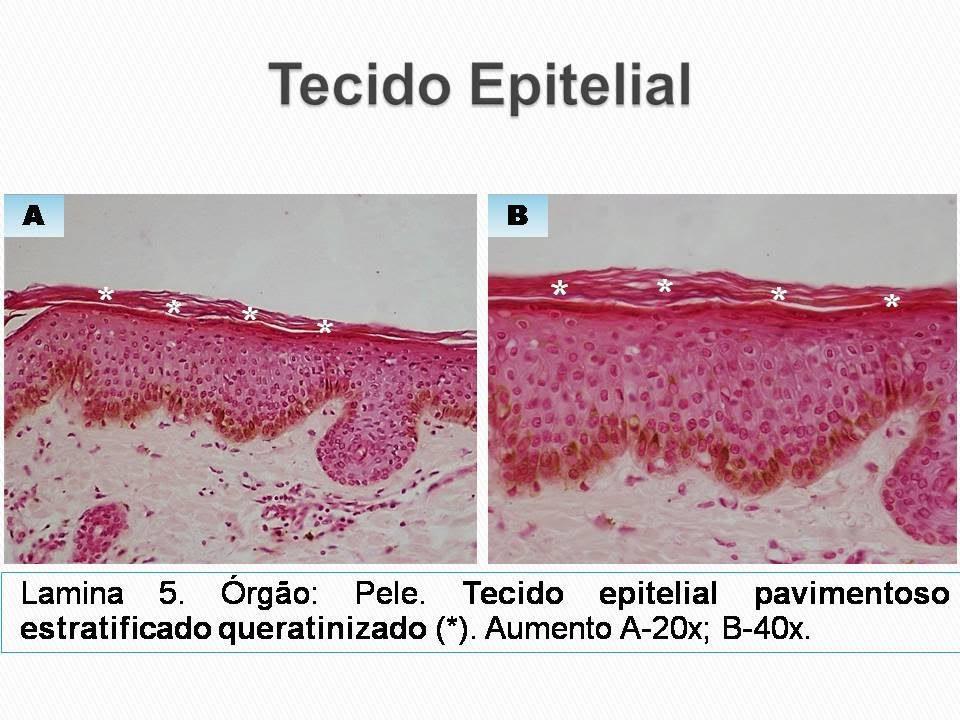tecido epitelial revestimento