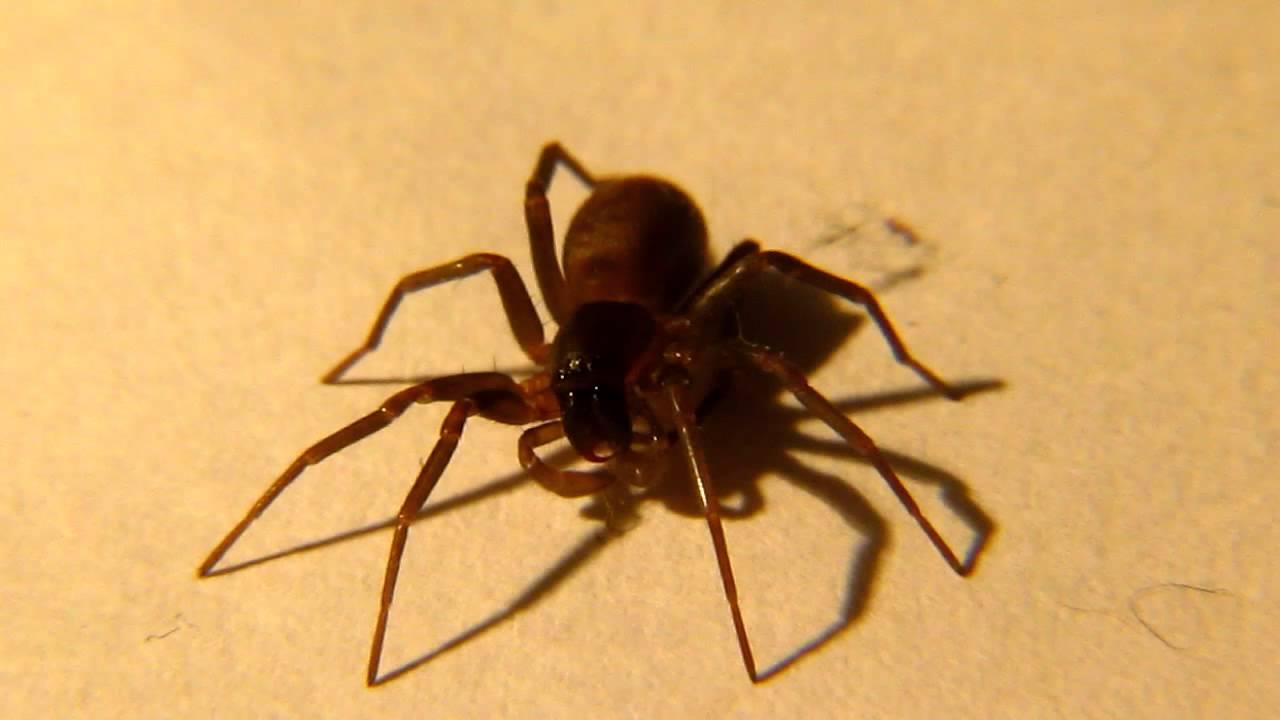 picada aranha marrom