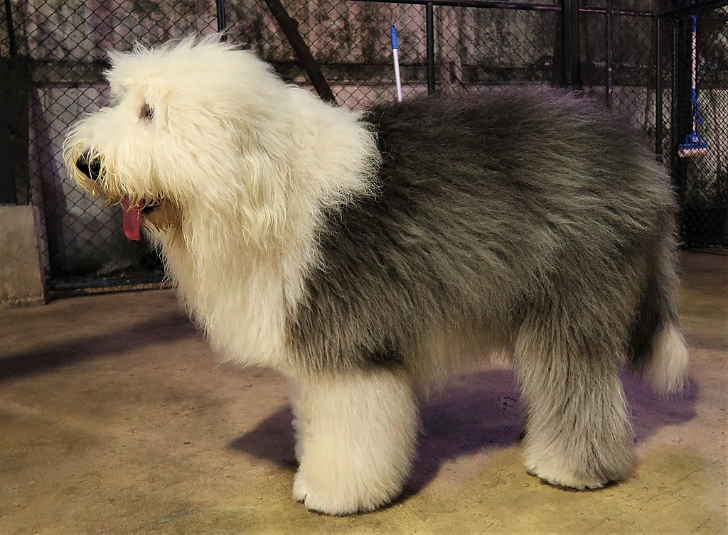 English Sheepdog de lado