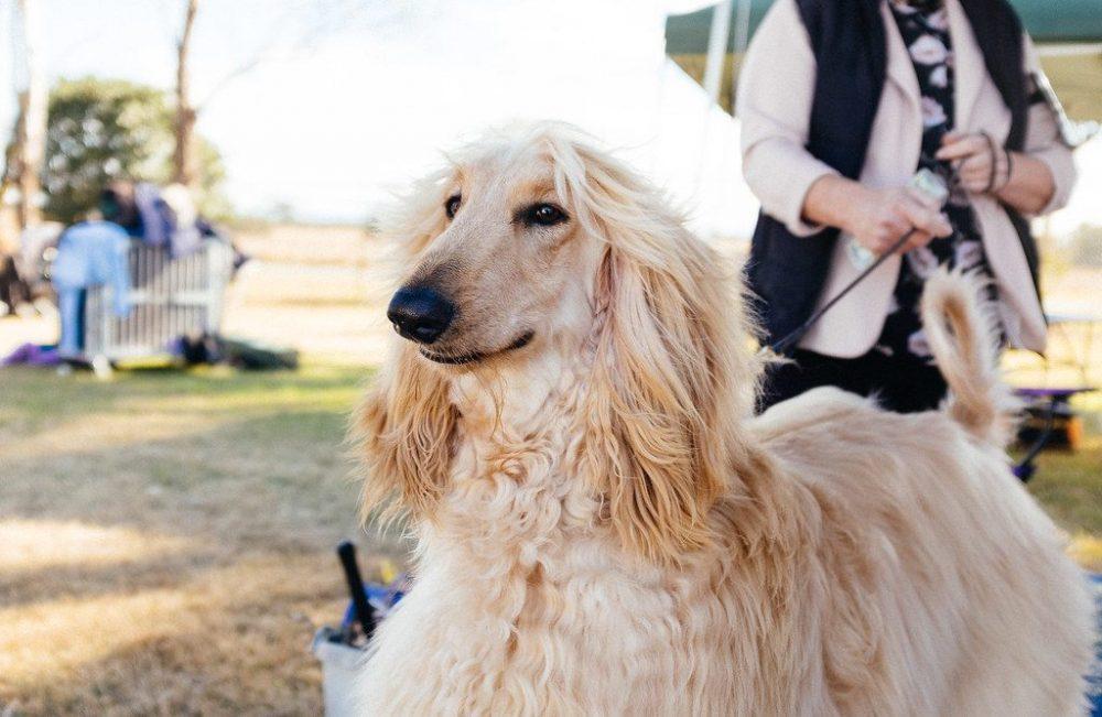 raça Afghan hound