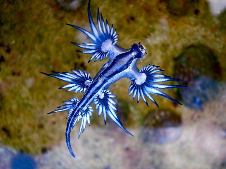 dragão azul do mar