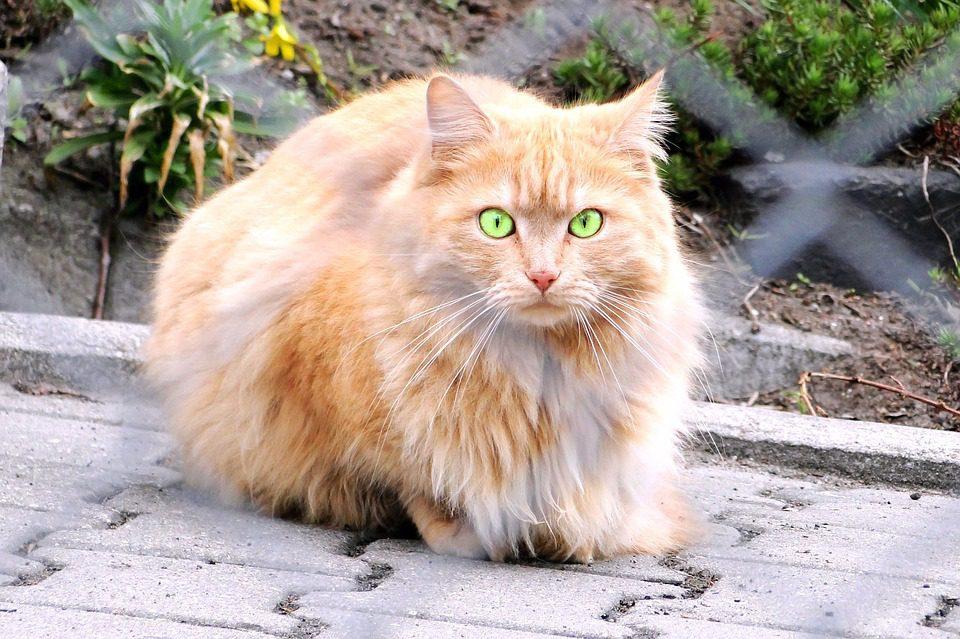 gato persa olhando