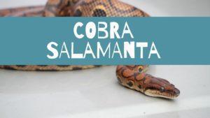 cobra salamanta