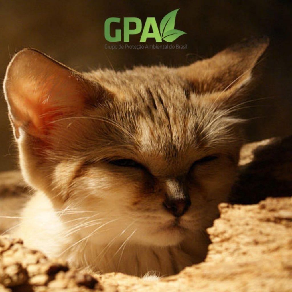 Cabeça gato do deserto