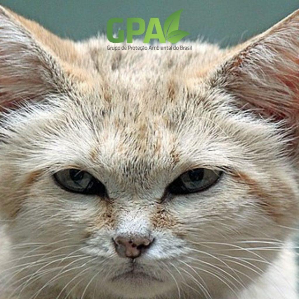 foto de perto do Felis margarita
