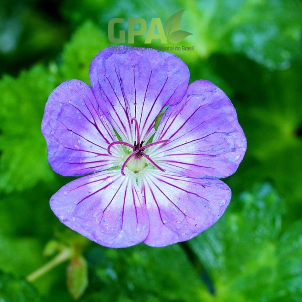 Geranium wallichianum
