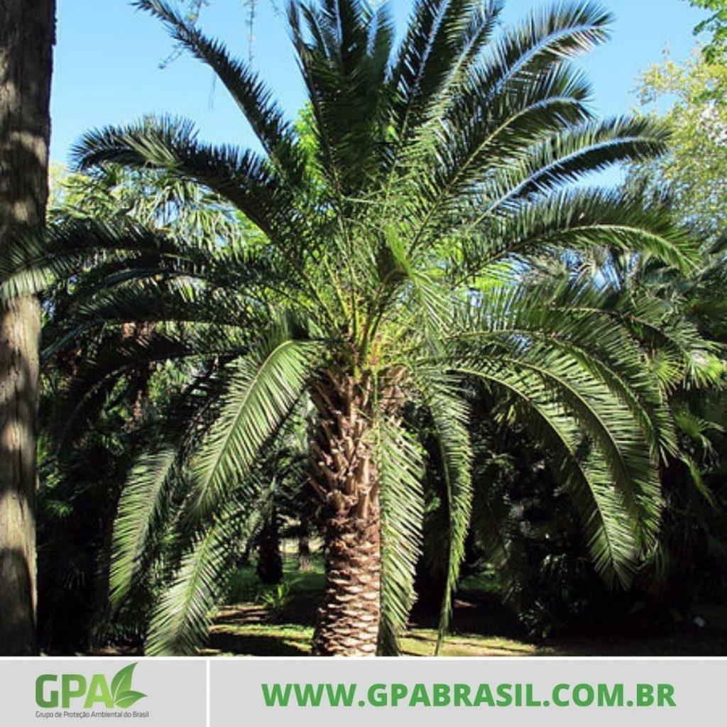 foto da palmeira fenix