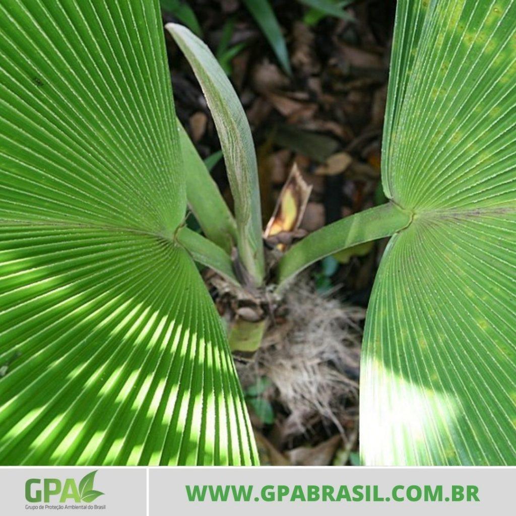 caule da palmeira visto de cima com duas folhas