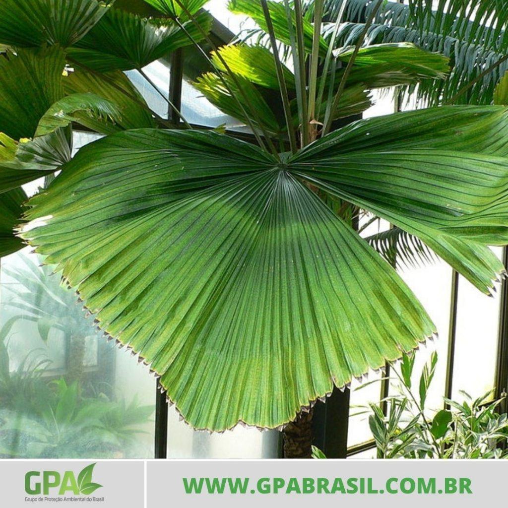 foto da palmeira leque