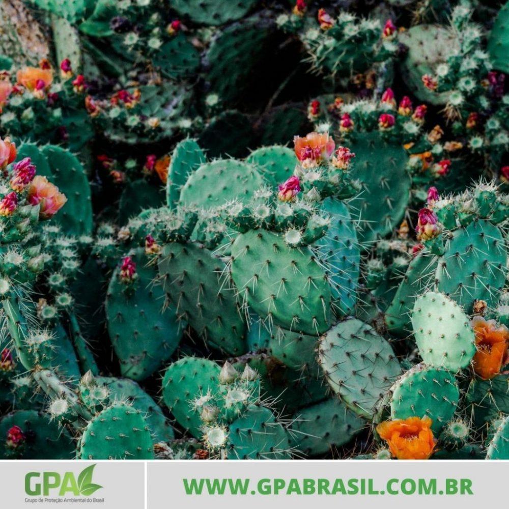 foto de cactos floridos