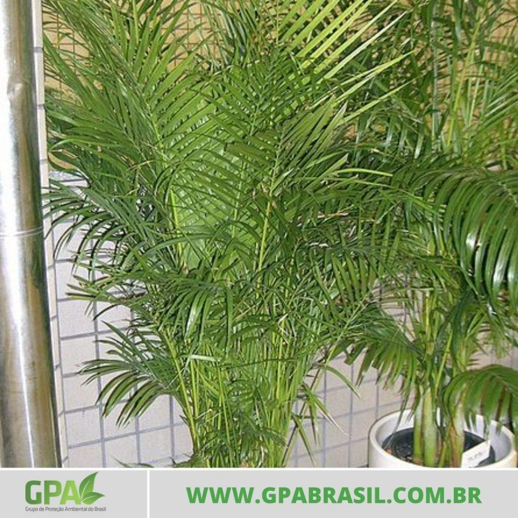 foto da palmeira areca bambu