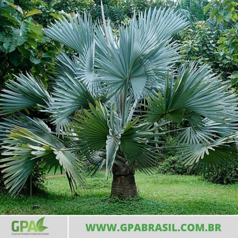 foto da palmeira azul