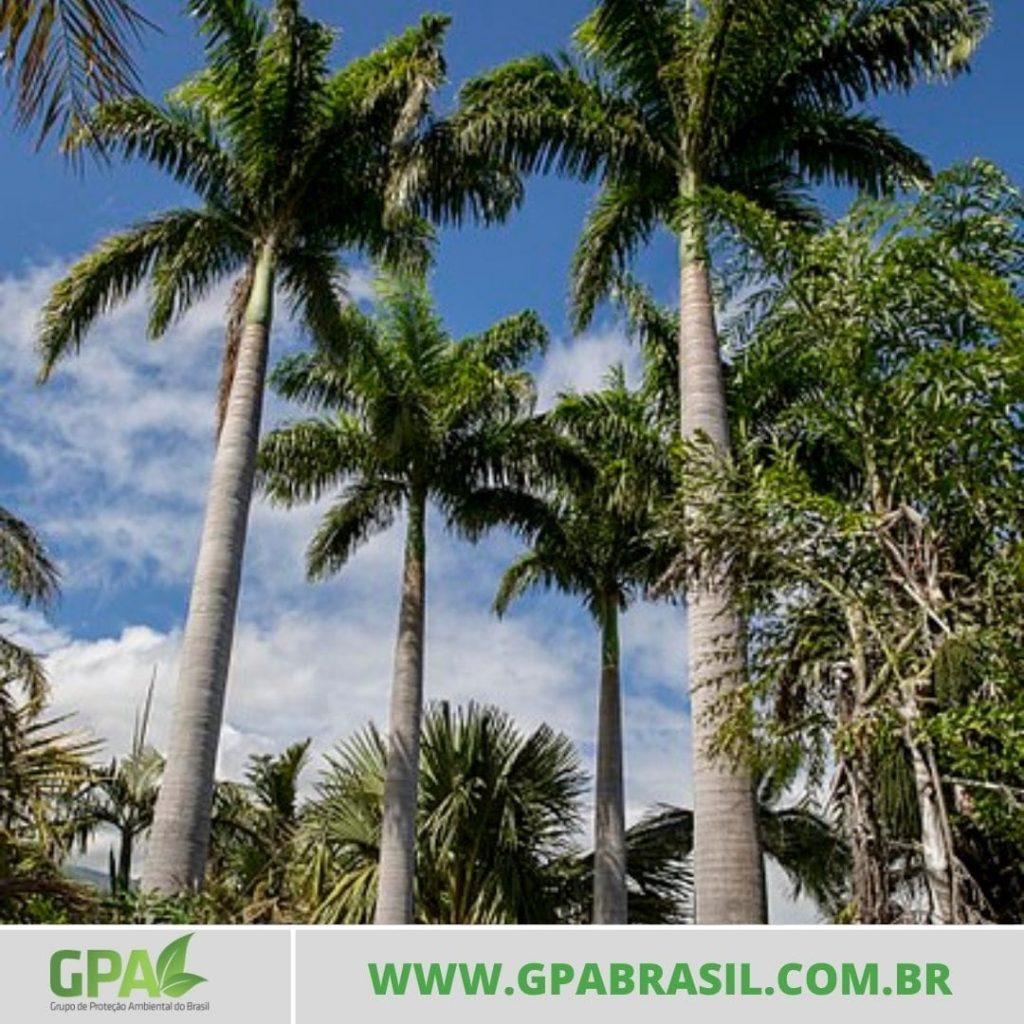 foto de três palmeiras imperiais