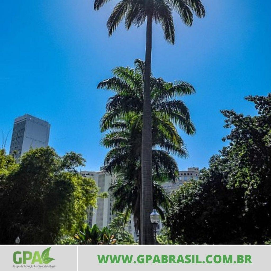 foto   de duas palmeiras imperiais uma na frente da outra