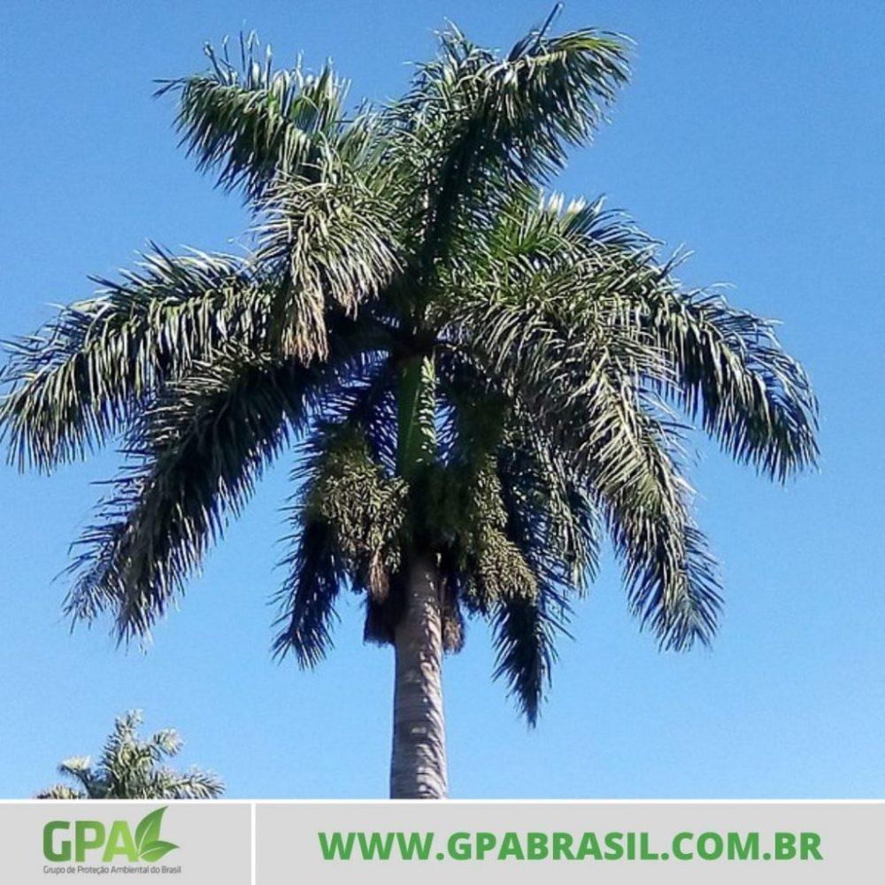 foto da palmeira rabo de raposa