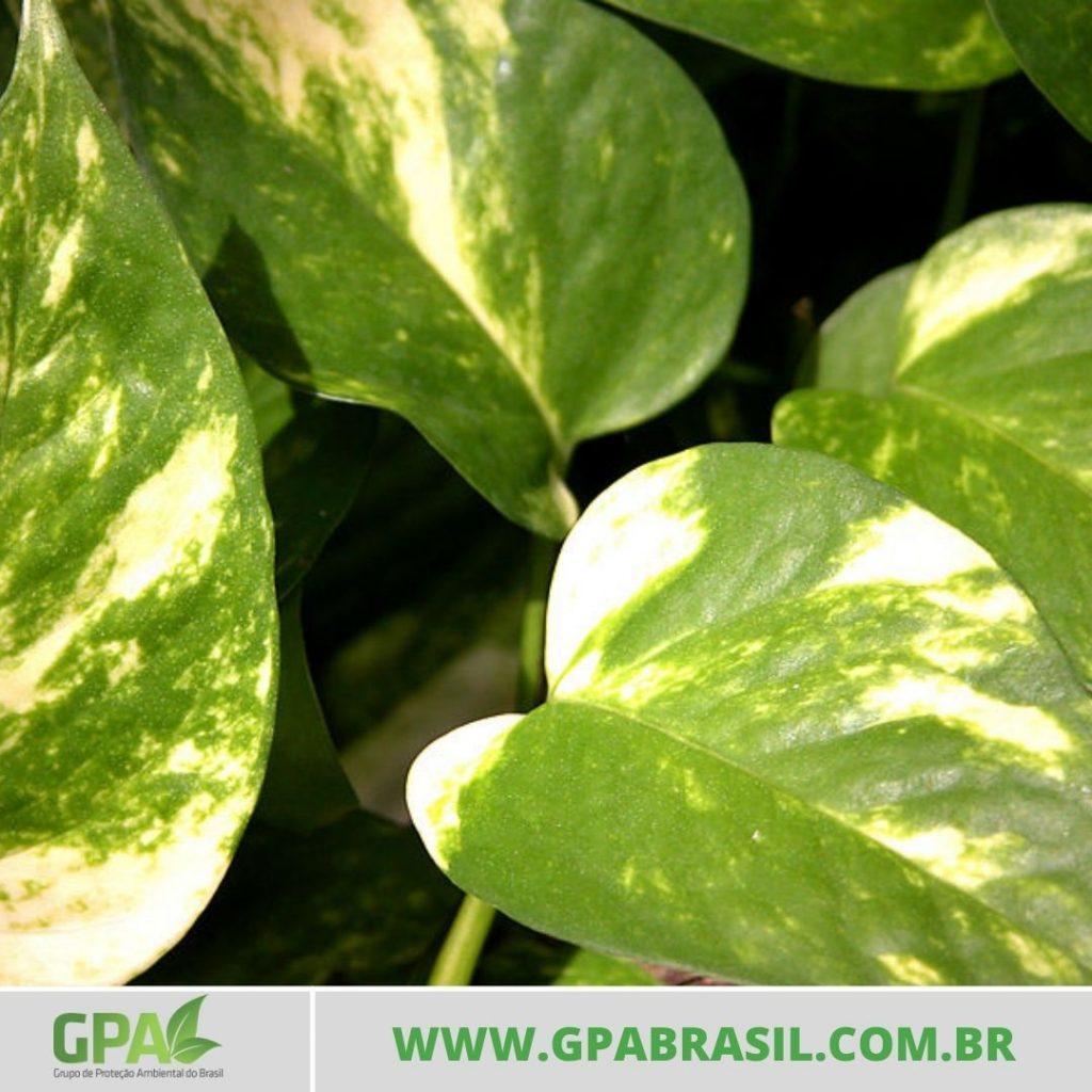 foto da planta jiboia comum
