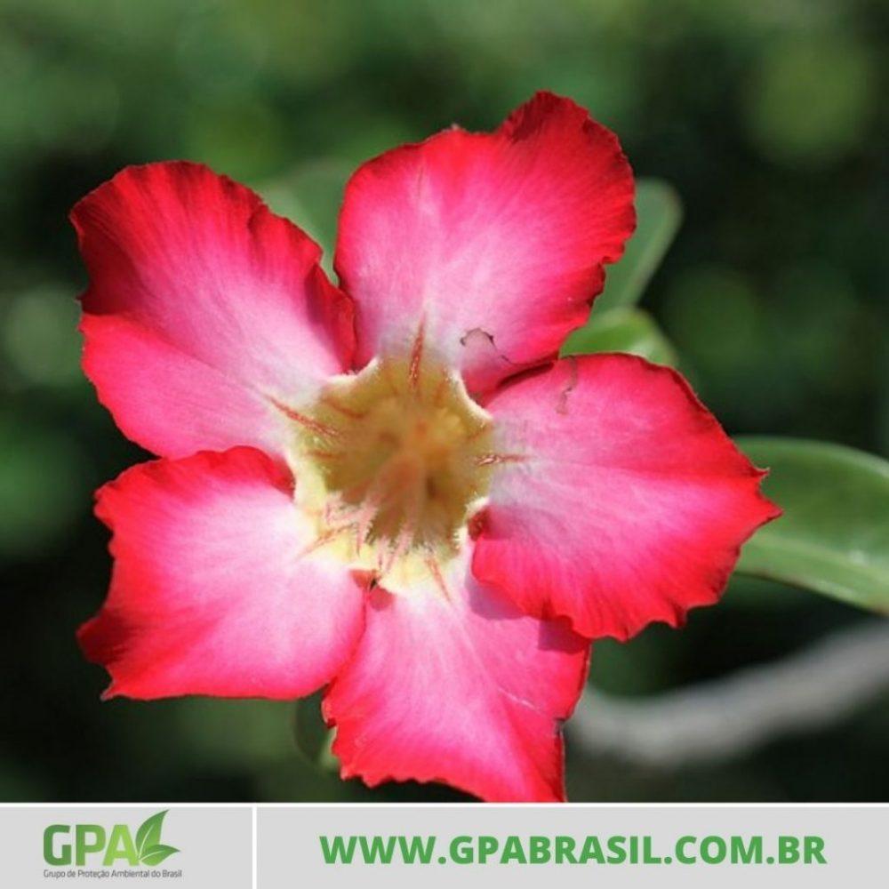 foto da flor da rosa-do-deserto