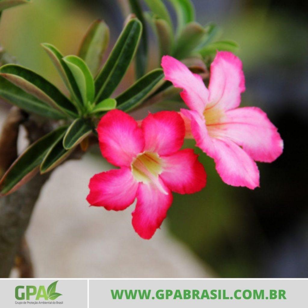 foto de duas flores da rosa-do-deserto
